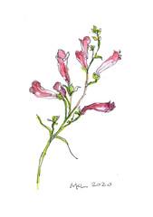 Firecracker Cuphea Flowers, 9/6/20