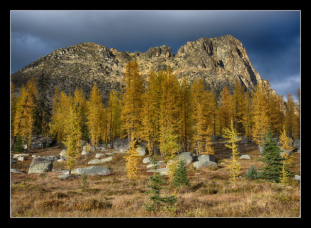 Larch in the Pasayten s