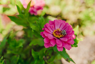 Flower Bright Pink Zinnia With A Bee | by wuestenigel