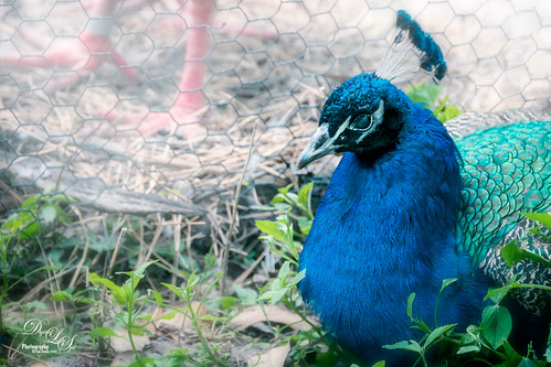 Image of a Peacock at the Jacksonville Zoo