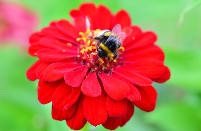 Munich - Bumblebee on red