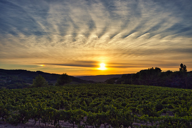 sunset over the vines before the harvest