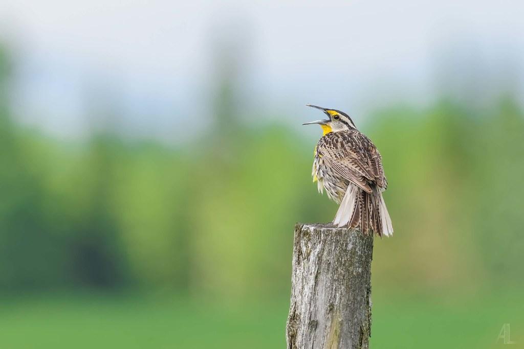 Sturnelle des prés // Eastern Meadowlark