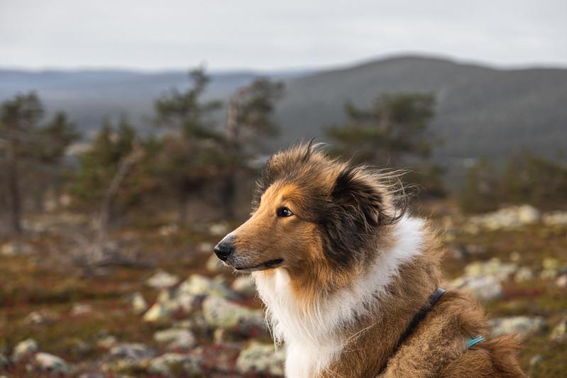 Koiran kanssa retkeily Levi