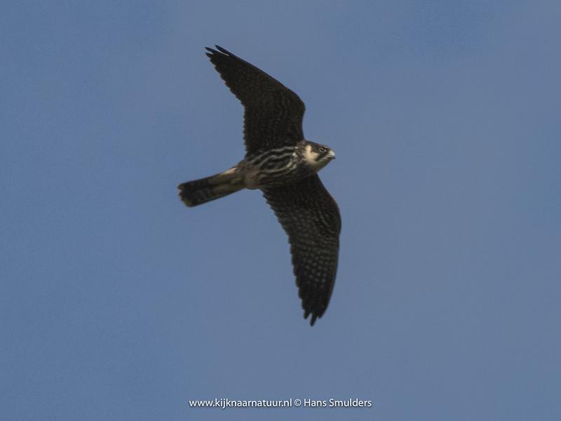 Boomvalk (Falco subbuteo)-820_4858