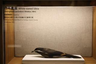 20200728-標本白耳畫眉 拷貝