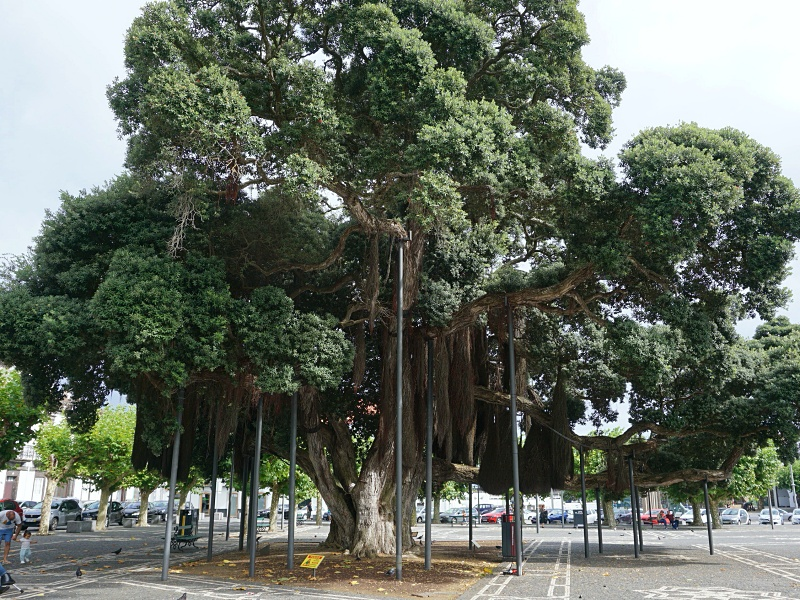 Ponta Delgada large tree