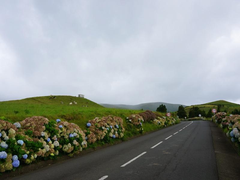 Azores Hydrangeas