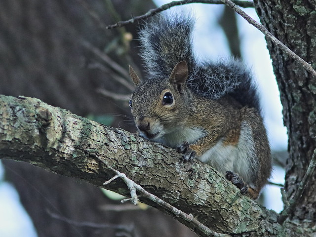 Gray Squirrel 01-20200907