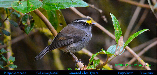 CROWNED CHAT-TYRANT Ochthoeca frontalis at Papallacta in Northern ECUADOR. Photo by Peter Wendelken.