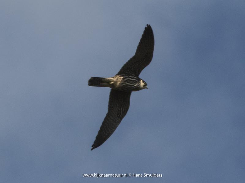Boomvalk (Falco subbuteo)-820_4860
