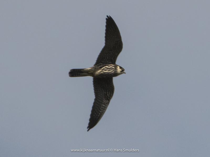 Boomvalk (Falco subbuteo)-820_4859
