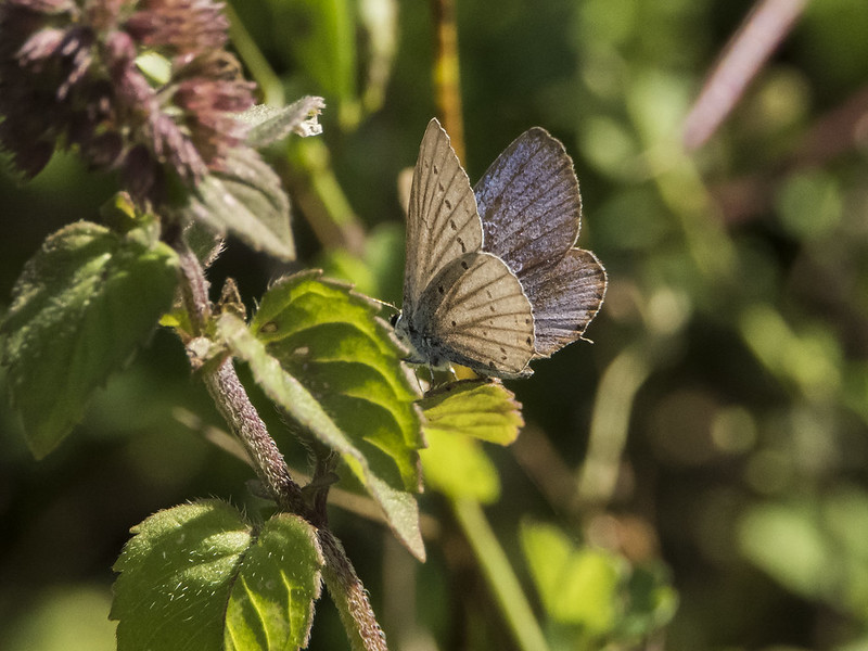 Staartblauwtje (Cupido argiades)-820_4862