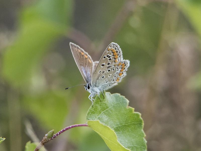 Bruin blauwtje (Aricia agestis)-820_4869