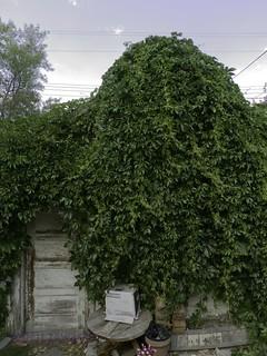 great vines