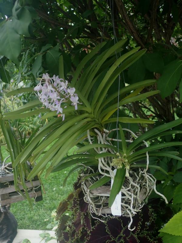 Les Orchidées chez Cloo en 2020 - Page 20 50315767836_12948f0e1b_o