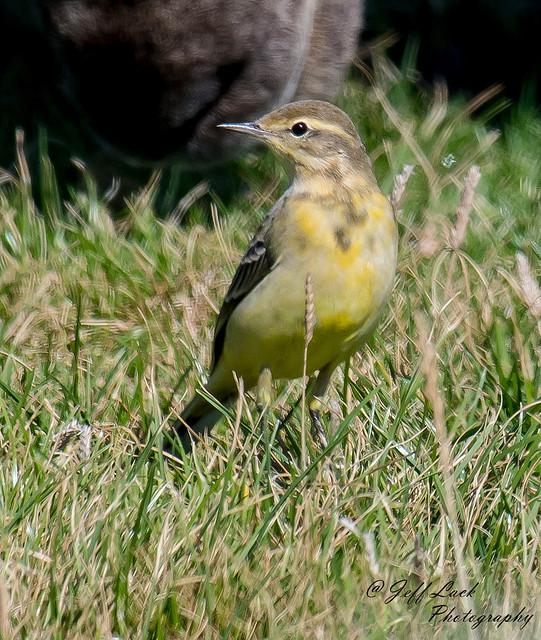 DSC9238  Yellow Wagtail...
