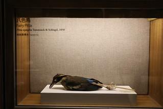 20200728-標本八色鳥