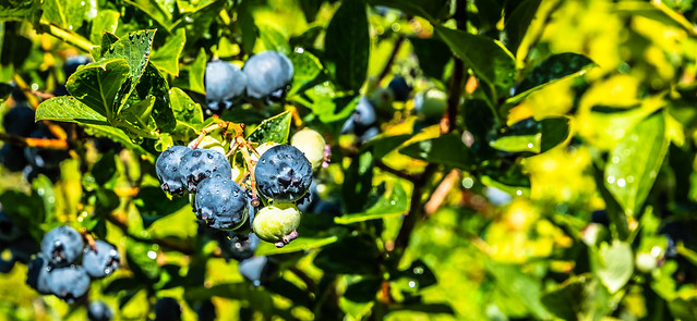 Blueberries after rain (explored)