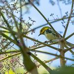 Black-throated green warbler, Rockefeller State Park Preserve