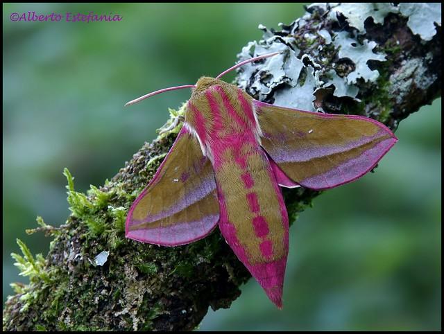 Deilephila elpenor (Esfinge morada)