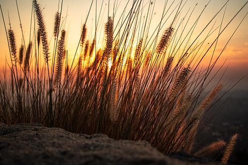sun flower sunrise
