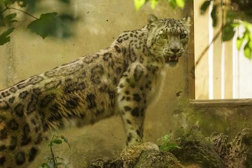 Panthère des neiges (Panthera uncia)