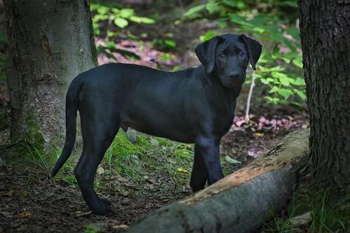 Koda (15 weeks)