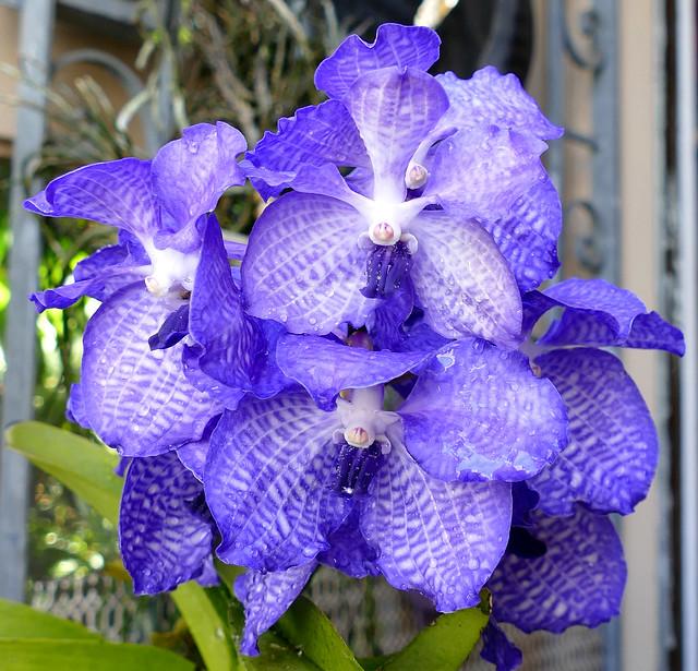 Vanda coerulea species orchid