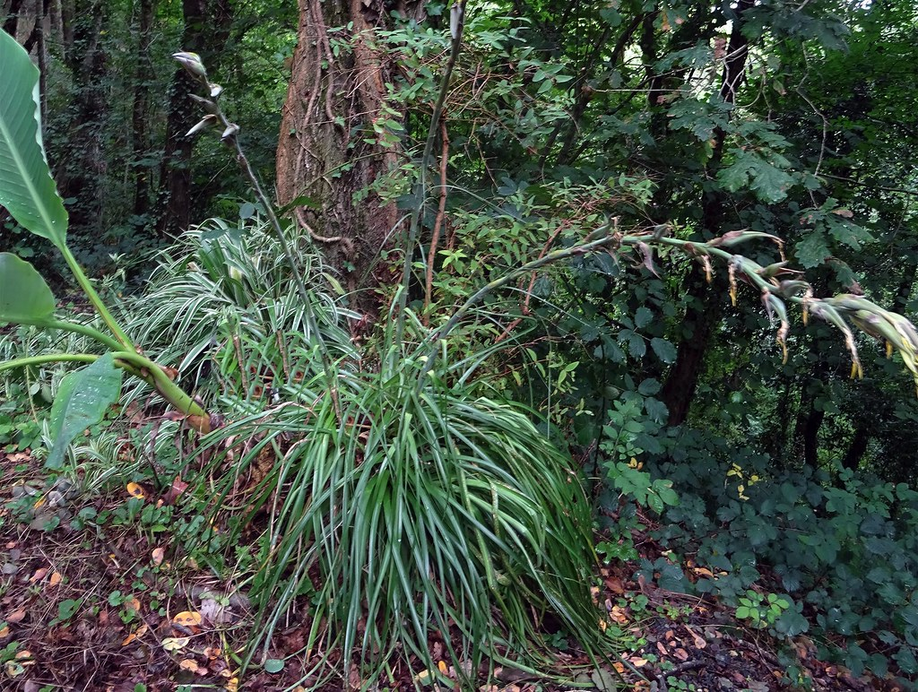 Puya mirabilis (Mez) L.B.Sm. 1968 (BROMELIACEAE).