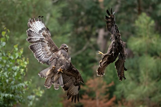 Fighting buzzards!