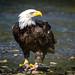 Farewell Eagle