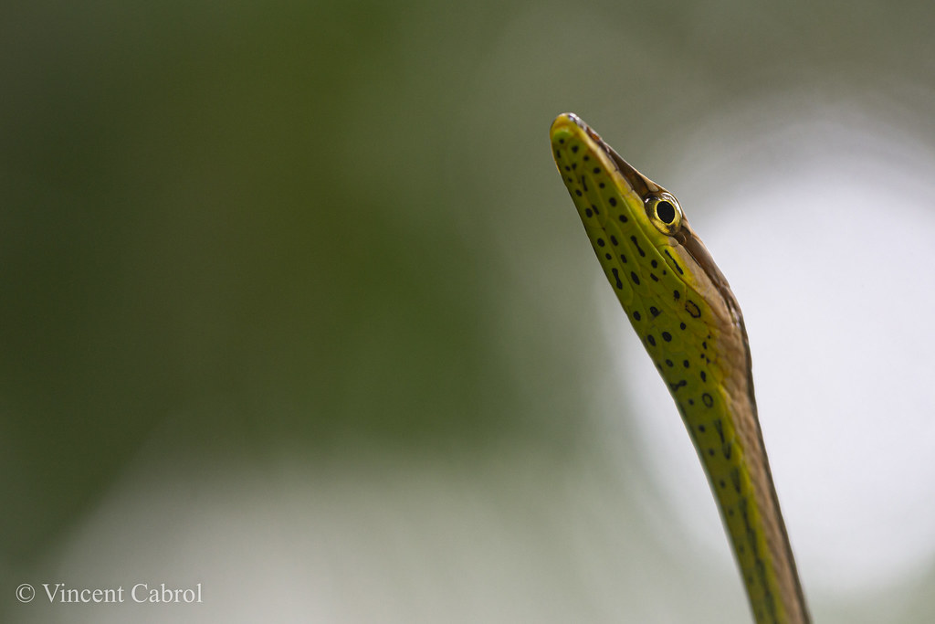 Serpent liane a gorge verte (philodryas argentea)-1