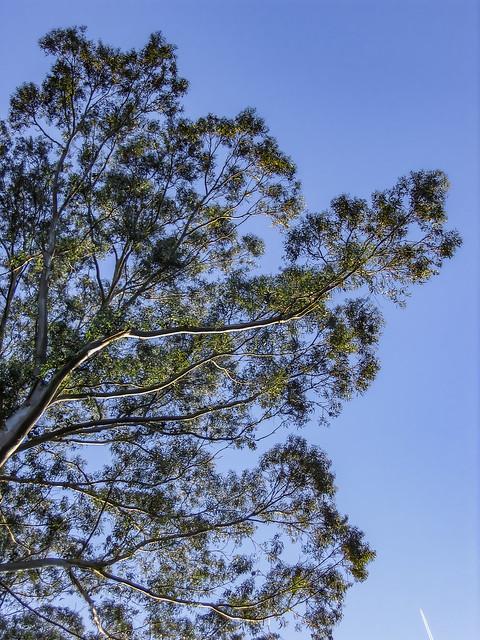 Eucalyptus 2006 06 15 01