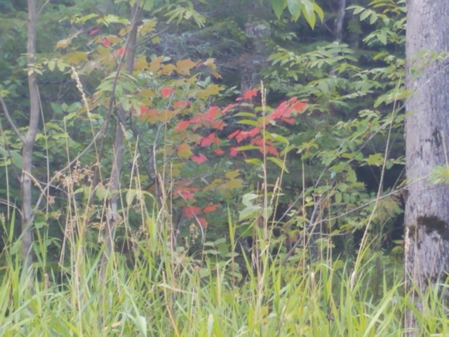 red_maple
