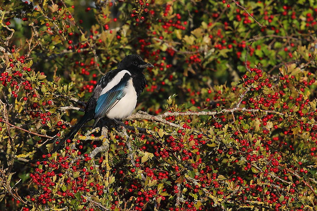 Magpie and Hawthorn