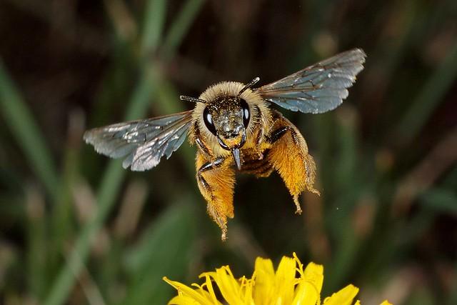 Rolf Nagel-Fl-10528-Dasypoda hirtipes Female