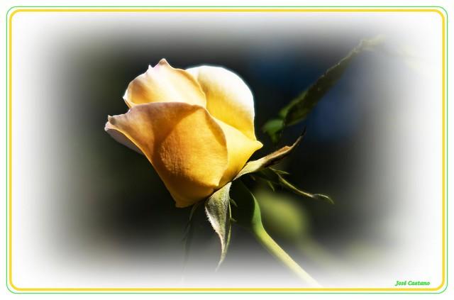 IMG_2376_Yellow Rose