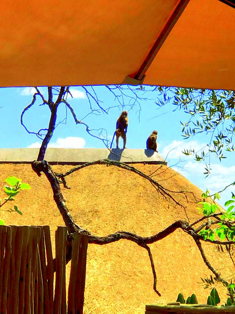 Monkeys Visiting Lodge