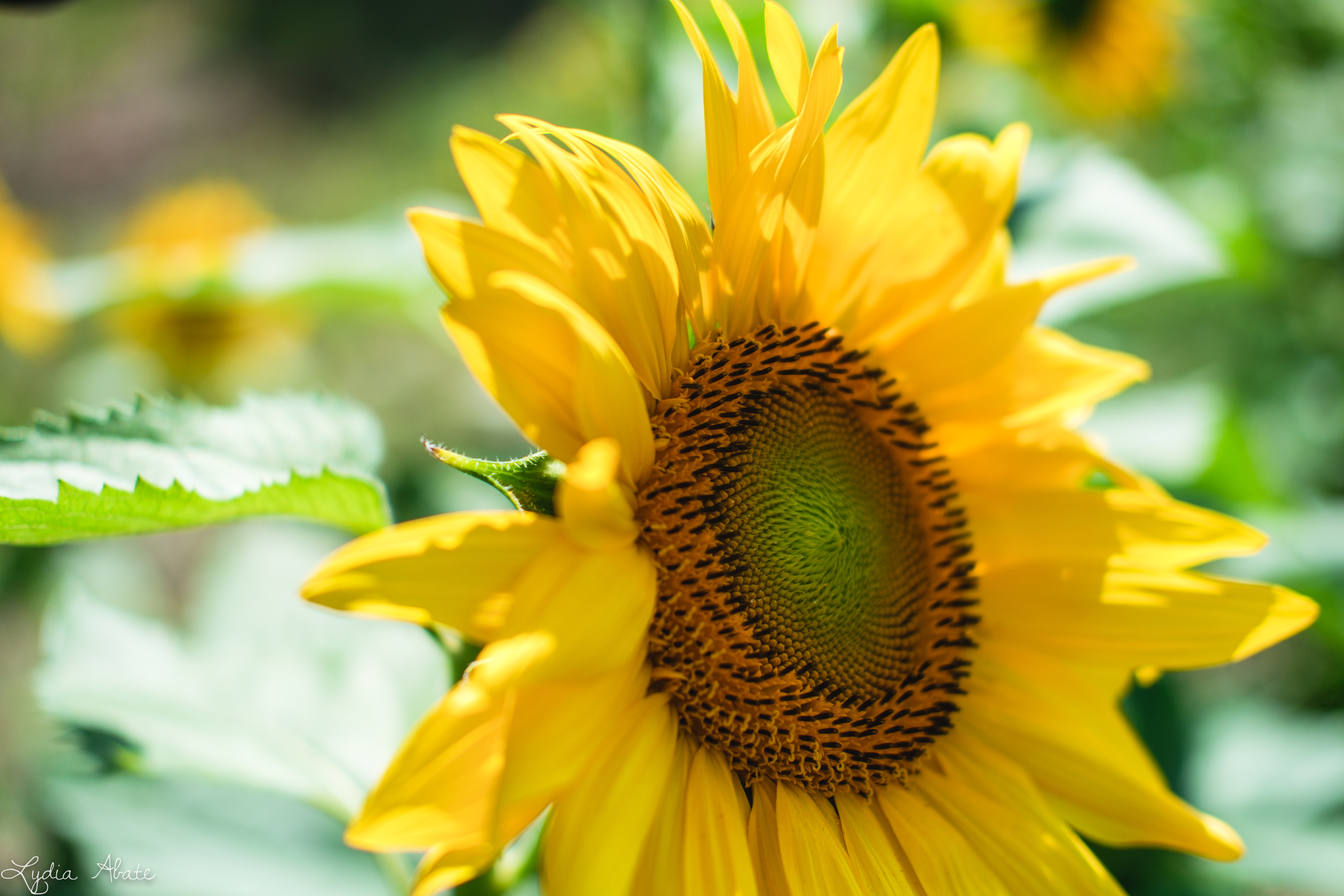 sunflowers larry augur farm northford ct-2.jpg