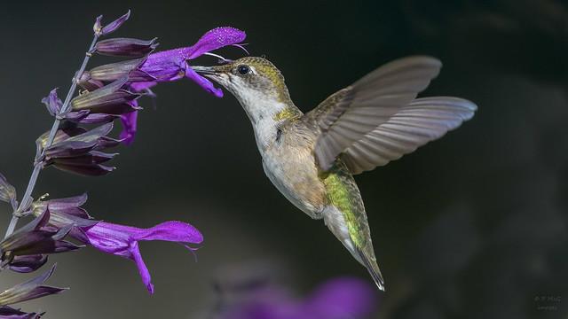 Ruby-throated Hummingbird(F)  2736