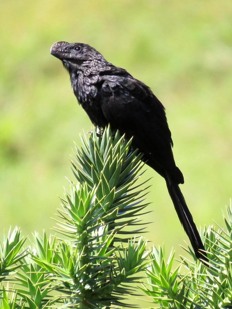 Es común verle en grupos en matorrales o siguiendo al ganado para alimentarse de los insectos que se exponen a su paso. También le gustan las ranas o lagartos pequeños y los huevos de otras aves. Su uiiic prolongado es inconfundible.