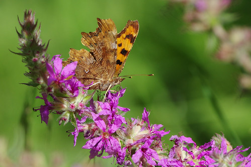 cambridgeshire waresleywood butterfly insect nature wild wildlife comma polygoniacalbum purpleloosestrife