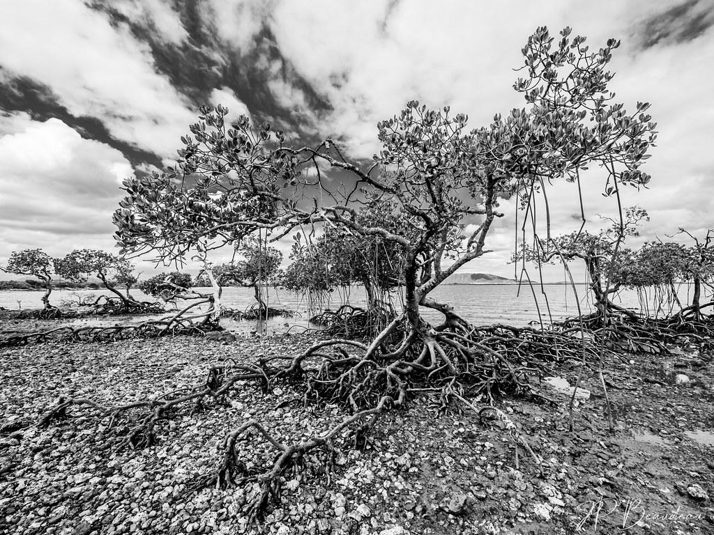 mangrove en péril 50318375938_4e685a52ab_b