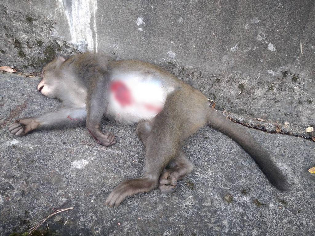 8月31日民眾通報台21線133.5公里遭撞擊死亡的台灣獼猴母猴照片。照片來源:玉管處