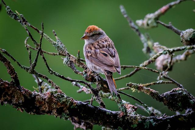 Swamp Sparrow - 7600