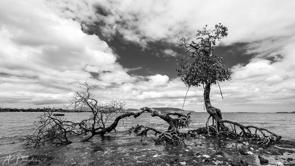 mangrove en péril 50319042386_5f6bb0438c_b