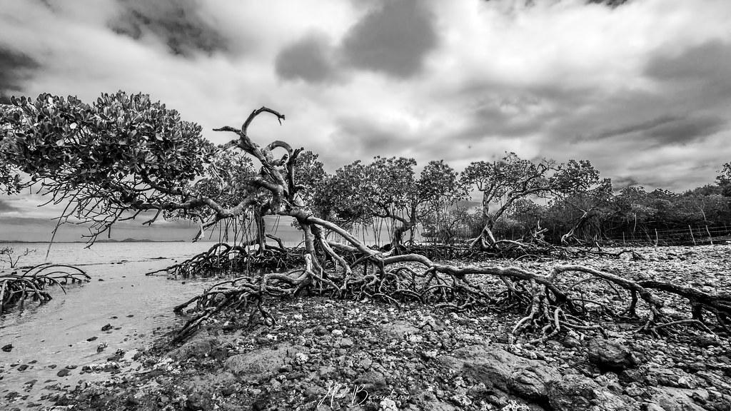 mangrove en péril 50319222767_5fae1e9d7b_b