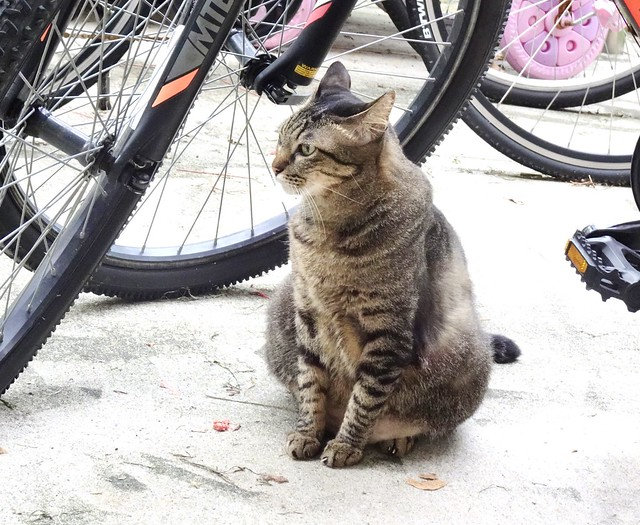 Cat (felis catus), Tiong Bahru Singapore, 8 September 2020.  Sony HX99.