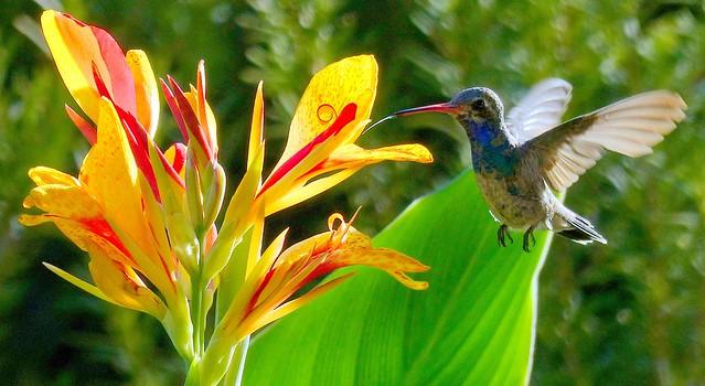 Hummingbird at breakfast